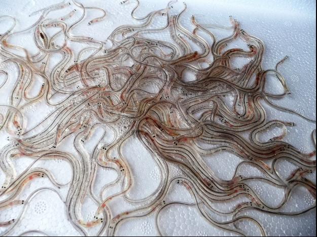 Gecertificeerde glasaal visserij
